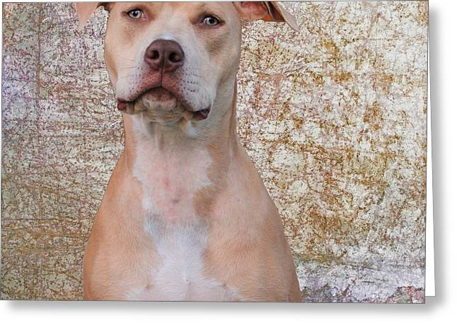 Staffie Greeting Cards - Hank A Pit Bull at Age One Greeting Card by Janice Rae Pariza