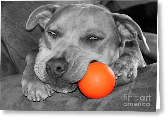 Staffie Greeting Cards - Hank The Pit Bull and His Orange Ball Greeting Card by Janice Rae Pariza