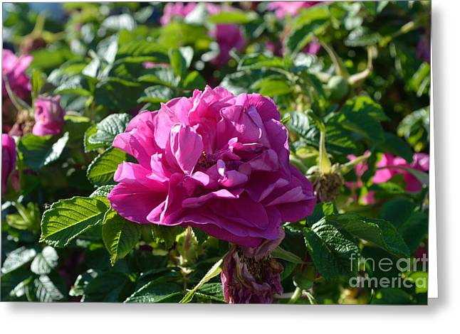 Indiana Flowers Greeting Cards - Hansa Rose At Dawn Greeting Card by Alys Caviness-Gober