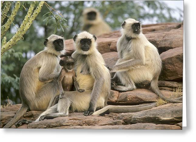 Cyril Greeting Cards - Hanuman Langur Females And Young Greeting Card by Cyril Ruoso
