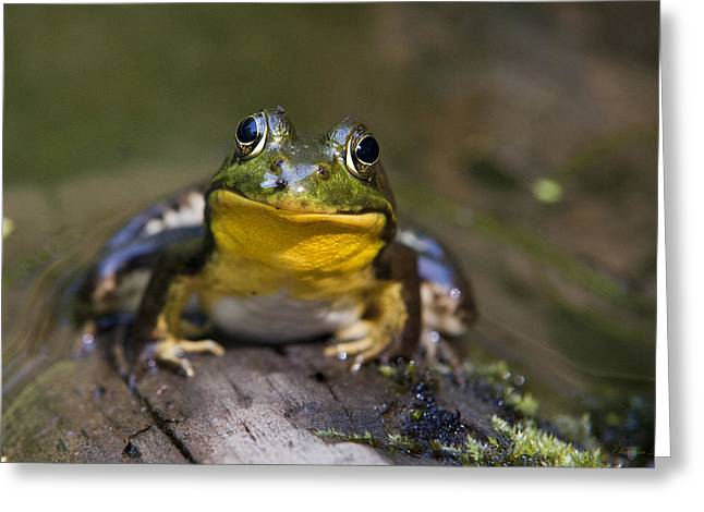 Playful Animals Greeting Cards - Happiness Frog Greeting Card by Christina Rollo