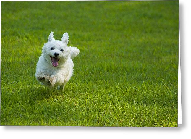 Maltese Greeting Cards - Happiness Is Running Free #1 Greeting Card by Pat Exum