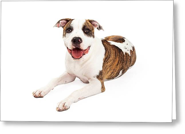 Full Body Greeting Cards - Happy American Staffordshire Terrier Dog Laying Greeting Card by Susan  Schmitz