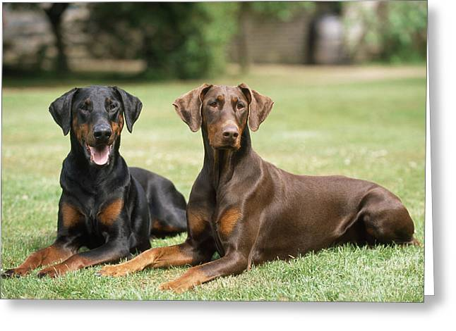 Happy Dobermans Greeting Card by John Daniels