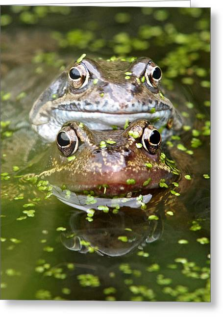 Suburban Posters Greeting Cards - Happy Frogs Greeting Card by Gill Billington