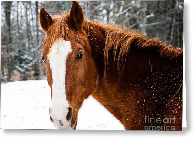 Grazing Snow Greeting Cards - Happy Horse Greeting Card by Dawna  Moore Photography