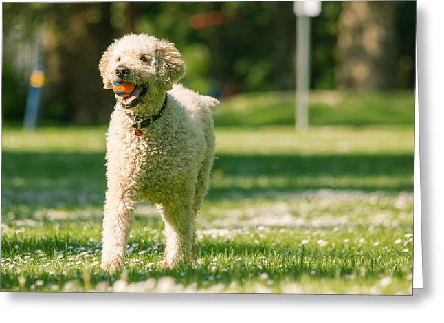 Mixed Labrador Retriever Greeting Cards - Happy labradoodle Greeting Card by Eti Reid
