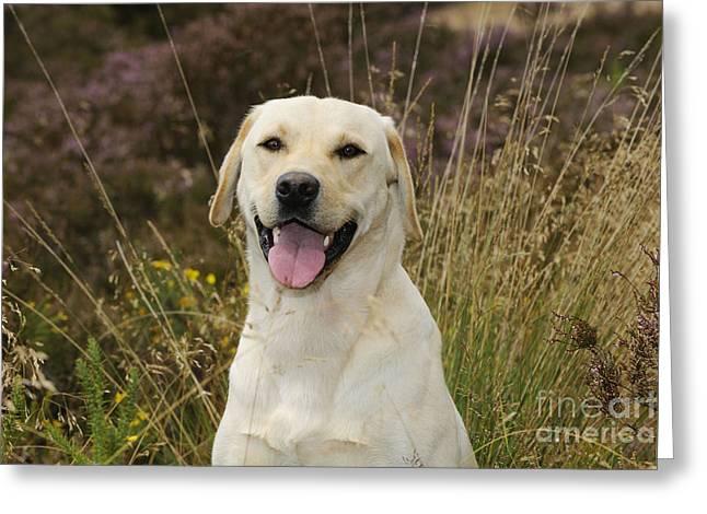 Happy Labradors Greeting Cards - Happy Labrador Greeting Card by John Daniels