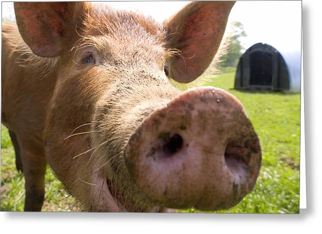 Hairy Pig Greeting Cards - Happy pig Greeting Card by Robert Down