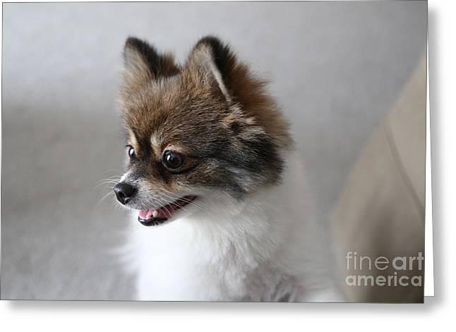 Suzi Nelson Greeting Cards - Happy Pomeranian Greeting Card by Suzi Nelson