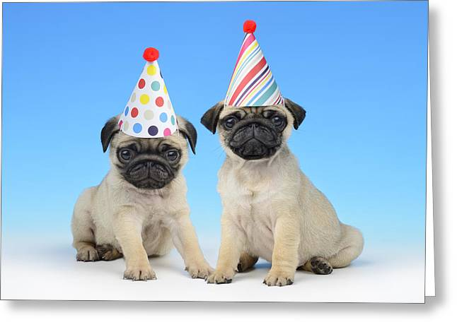 Puppies Photographs Greeting Cards - Happy Pug Birthday Greeting Card by Greg Cuddiford