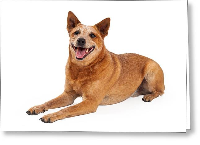 Australian Cattle Dog Greeting Cards - Happy Red Heeler Dog Laying  Greeting Card by Susan  Schmitz