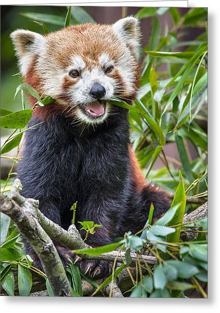 Critter Greeting Cards - Happy Red Panda Greeting Card by Greg Nyquist