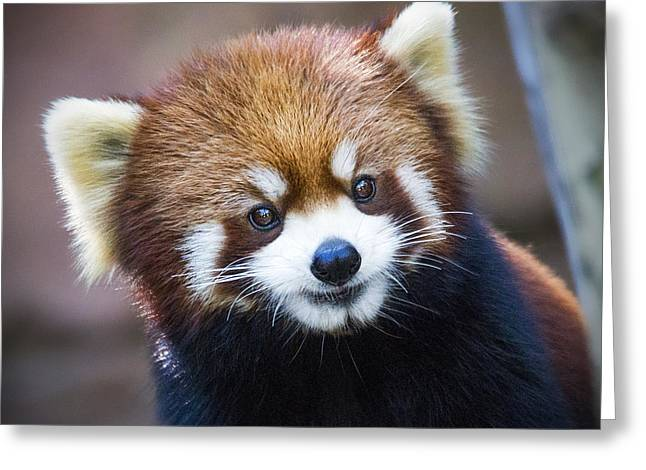 Critter Greeting Cards - Happy Red Panda Greeting Card by Jaki Miller
