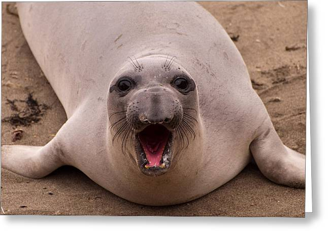 Elephant Seals Greeting Cards - Happy Seal Greeting Card by Donna Doherty