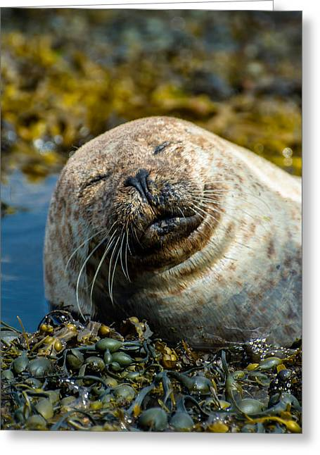 Satisfaction Greeting Cards - Happy Seal Relaxing In The Seaweed Greeting Card by Andreas Berthold