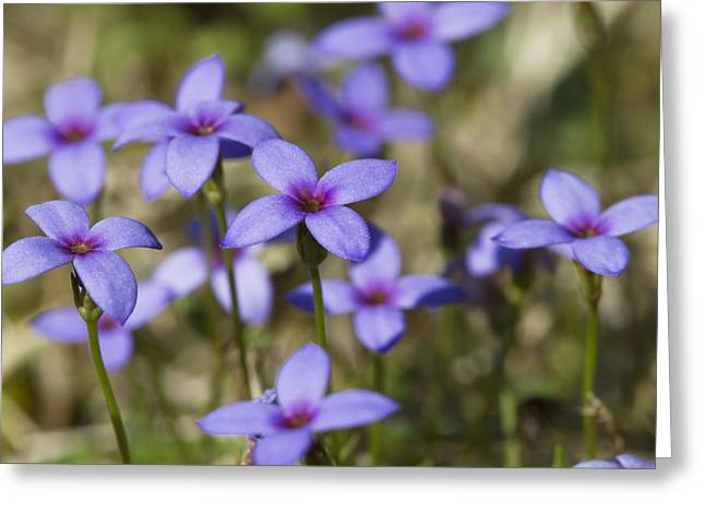 Houstonia Pusilla Greeting Cards - Happy Tiny Bluet Wildflowers Greeting Card by Kathy Clark