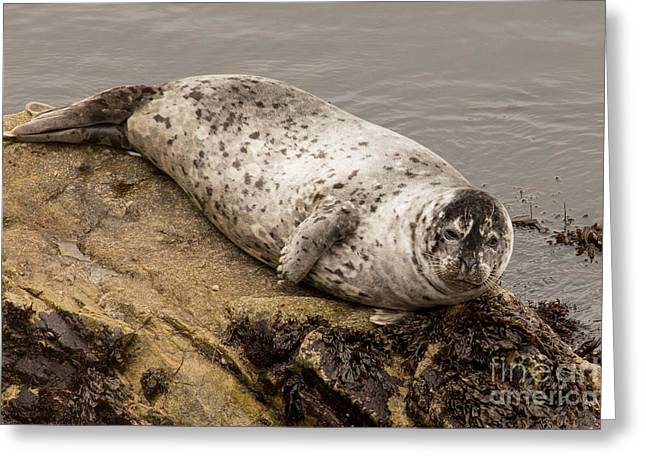 Point Lobos Greeting Cards - Harbor Seal at Point Lobos State Park in California Greeting Card by Natural Focal Point Photography