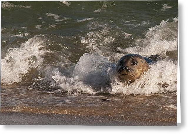 California Sea Lions Greeting Cards - Harbor Seal Body Surfing Greeting Card by Lee Kirchhevel