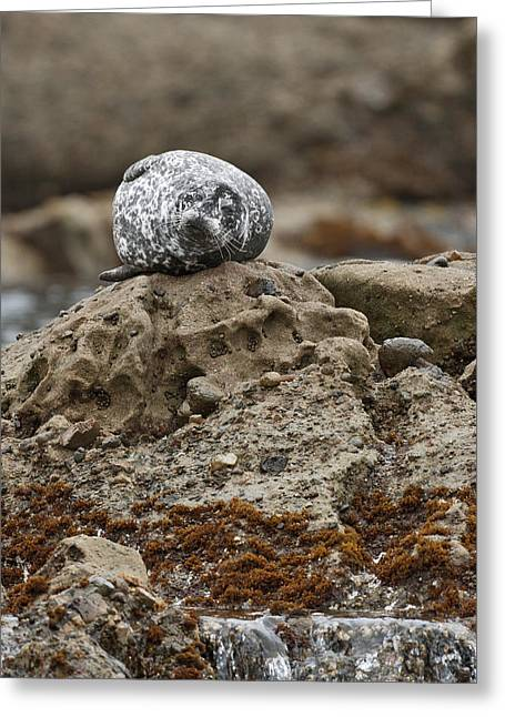 Big Sur California Greeting Cards - Harbor seal Greeting Card by Gary Langley