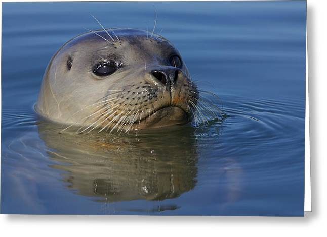Moss Landing Harbor Greeting Cards - Harbor Seal III Greeting Card by Julie Chen