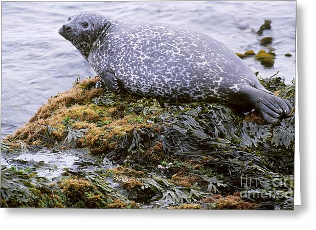 Harbor Seals Greeting Cards - Harbor Seal In Iceland Greeting Card by Art Wolfe