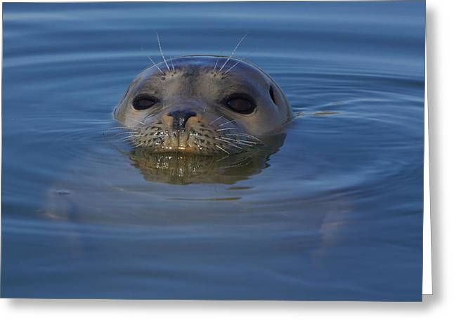 Moss Landing Harbor Greeting Cards - Harbor Seal Greeting Card by Julie Chen