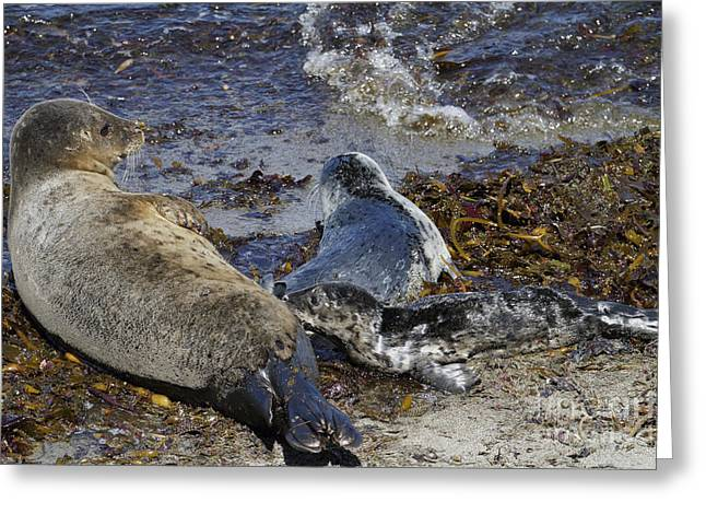 Harbor Seals Greeting Cards - Harbor Seal Nursing Greeting Card by George Oze