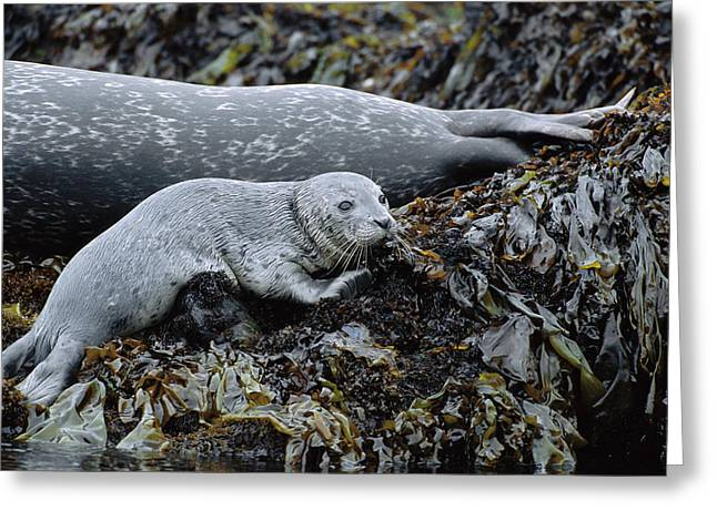 Best Sellers -  - Point Lobos Reserve Greeting Cards - Harbor Seal Pup Resting Greeting Card by Suzi Eszterhas