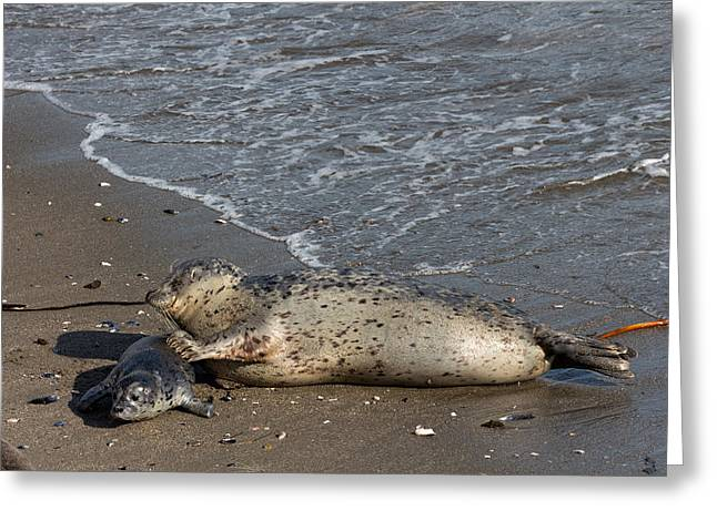 California Sea Lions Greeting Cards - Harbor Seal Pup with her Loving Mother Greeting Card by Kathleen Bishop