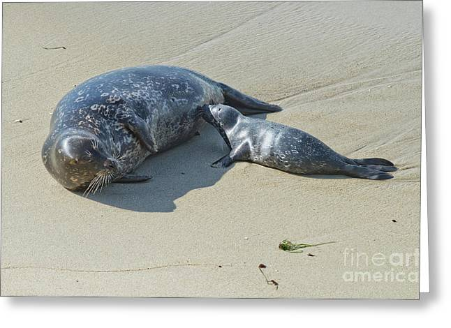 Harbor Seals Greeting Cards - Harbor Seal Suckling Young Greeting Card by Anthony Mercieca