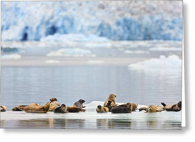 Cold Day Greeting Cards - Harbor Seals Phoca Vitulina Rest On An Greeting Card by Ray Bulson