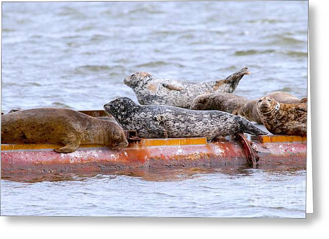 Ocean Mammals Greeting Cards - Harbour Seals Lounging Greeting Card by Sharon  Talson