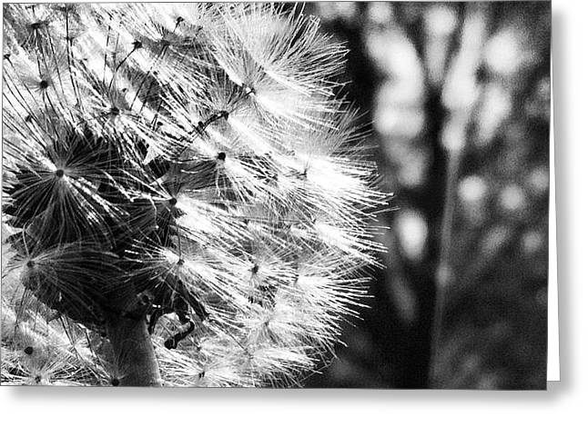 Dandilion Greeting Cards - Hard Is Soft And Soft Is Hard Greeting Card by Trish Hale