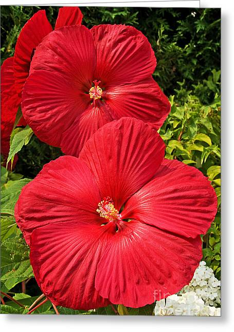 Sue Smith Greeting Cards - Hardy Hibiscus Greeting Card by Sue Smith
