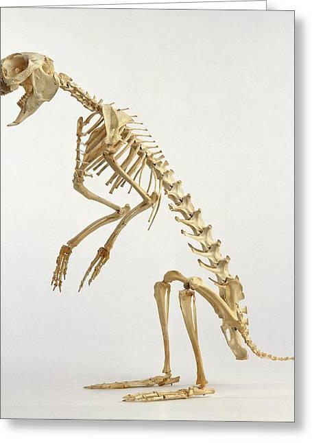 Hare Skeleton Greeting Card by Dorling Kindersley/uig