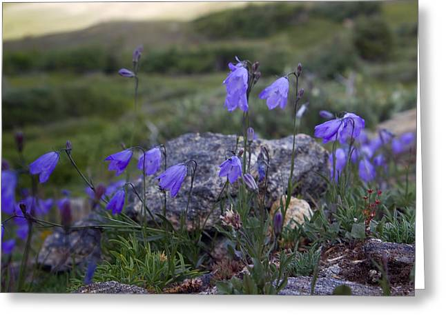 Ladys Greeting Cards - Harebell Bellflower Greeting Card by Ellen Heaverlo