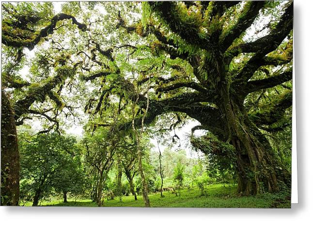 Harenna Forest Greeting Card by Photostock-israel