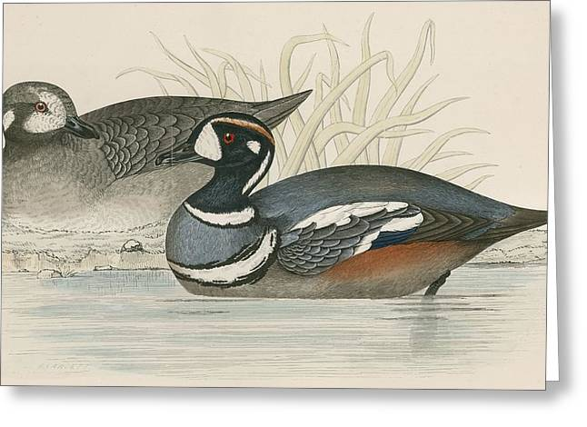 Hunting Bird Greeting Cards - Harlequin Duck Greeting Card by Beverley R. Morris