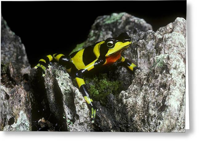 Critically Endangered Animal Greeting Cards - Harlequin Frog Greeting Card by Gregory G. Dimijian, M.D.