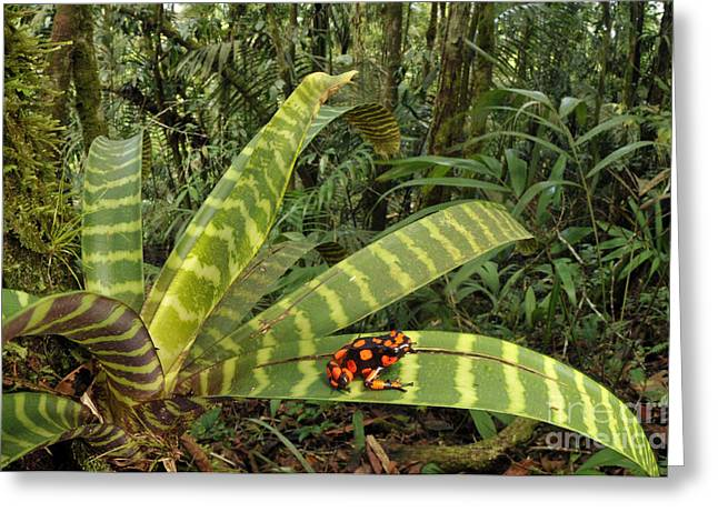 Bromeliad Greeting Cards - Harlequin Poison Frog Greeting Card by Francesco Tomasinelli