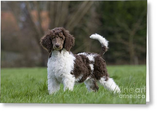Toy Dog Greeting Cards - Harlequin Poodle Puppy Greeting Card by Johan De Meester