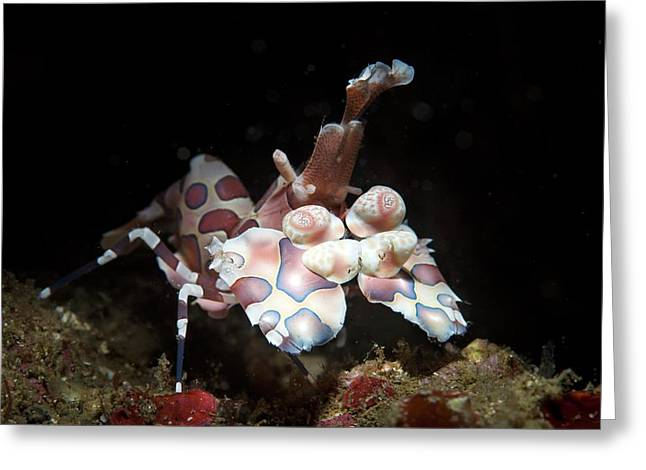 Harlequin Shrimp Greeting Card by Ethan Daniels