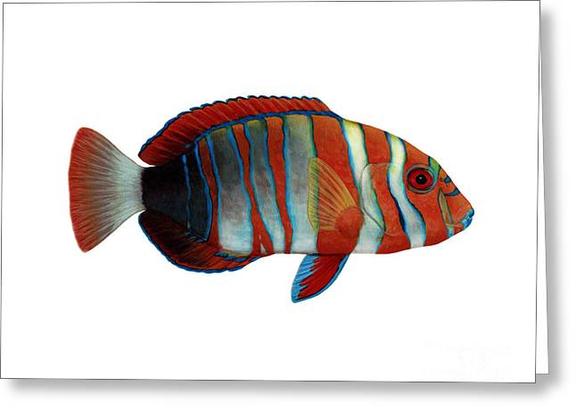 Reef Fish Greeting Cards - Harlequin Tuskfish Choerodon Fasciatus Greeting Card by Carlyn Iverson