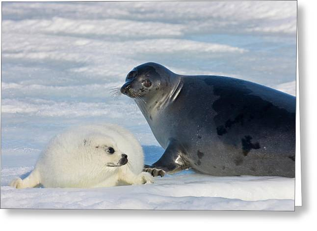 Harp Seals, Mother With Cub On Ice Greeting Card by Keren Su