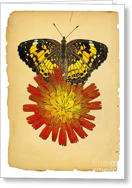 Checkerspot Greeting Cards - Harris Checkerspot and Orange Hawkweed Greeting Card by Tom Lindfors