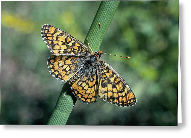 Checkerspot Greeting Cards - Harris Checkerspot Greeting Card by Buddy Mays