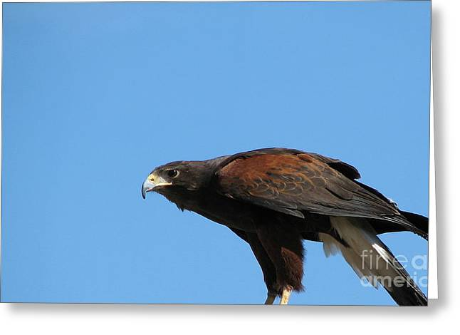 Hawk Creek Greeting Cards - Harris Hawk Ready for Takeoff Greeting Card by Rose Santuci-Sofranko