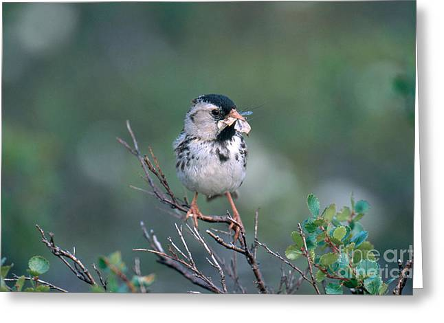 Sparrow Greeting Cards - Harris Sparrow Greeting Card by William H. Mullins