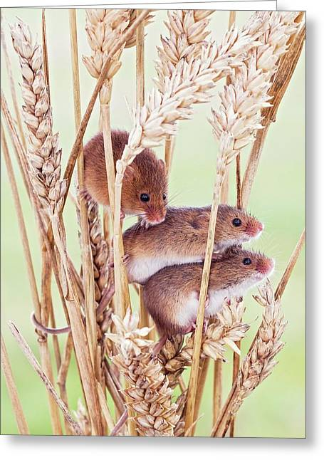 Harvest Mice On Wheat Greeting Card by John Devries